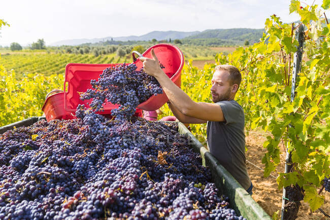 Man pouring red grapes on trailer in vineyard — Stock Photo