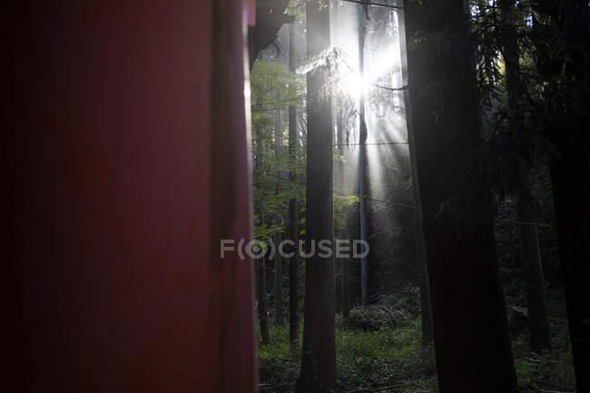 Japan, Kyoto Prefecture, Kyoto City, Sun shining through branches of Fushimi Inari-taisha temple forest trees — Stock Photo