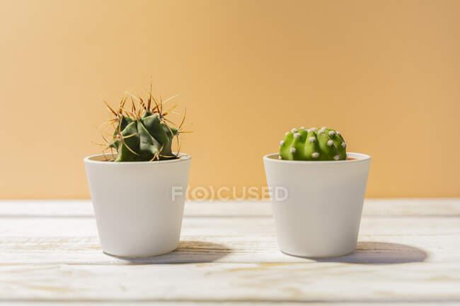 Deux cactus en pots — Photo de stock
