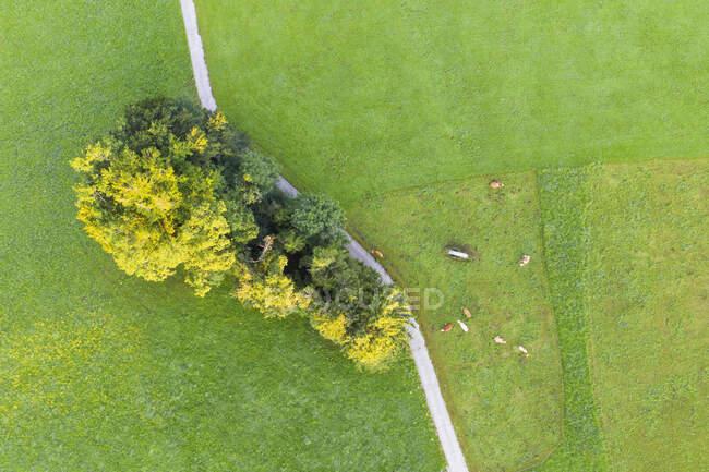 Vista aérea de vacas em pastagem, Peretshofen perto de Dietramszell, Tlzer Land, Alta Baviera, Baviera, Alemanha — Fotografia de Stock