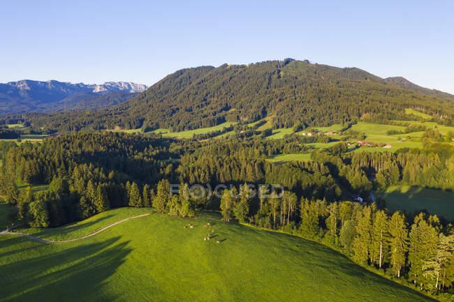 Veduta aerea del pascolo e della foresta di vacche vicino a Wackersberg, Isarwinkel, Alta Baviera, Baviera, Germania — Foto stock