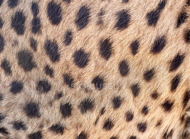 Cheetah skin, Damaraland, Namibia - foto de stock