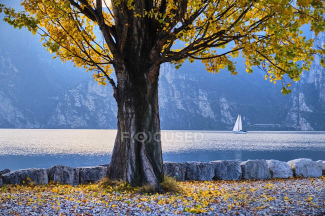 Italy, Trentino, Nago-Torbole, Autumn tree growing on shore of LakeGarda with sailboat in background — Stock Photo