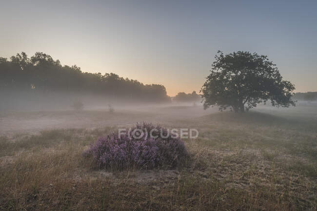 Germania, Amburgo, Paesaggio con erica all'alba — Foto stock