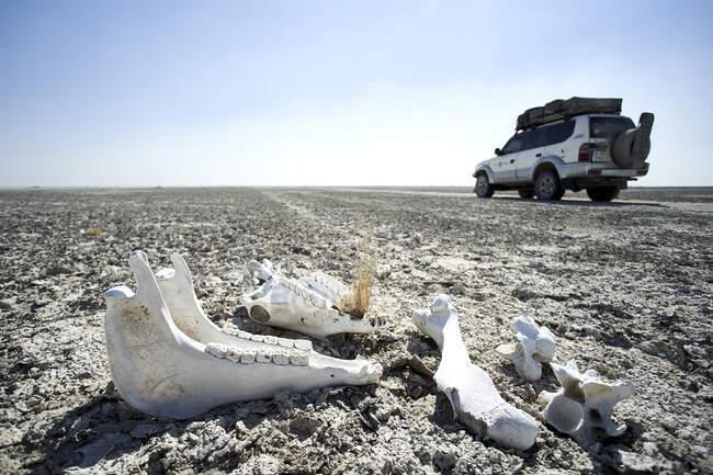 Vehículo todoterreno conduciendo por un camino de tierra cerca de un cráneo de cebra, sartenes Makgadikgadi, Botswana - foto de stock