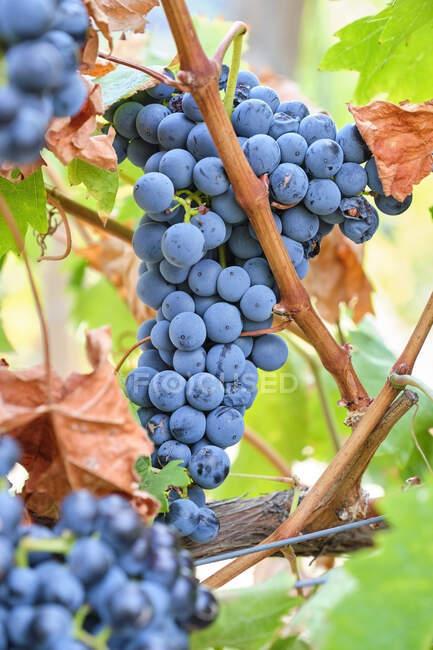 Portugal, Douro, Valle del Duero, Vista vertical del racimo de uvas sobre vid - foto de stock