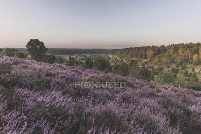 Alemania, Baja Sajonia, Luneburg Heath, Campos con brezal al atardecer - foto de stock