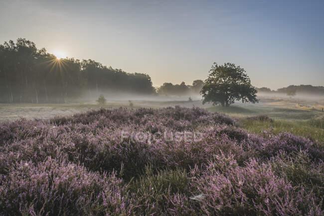 Germany, Hamburg, Landscape with heather at sunrise — Stock Photo