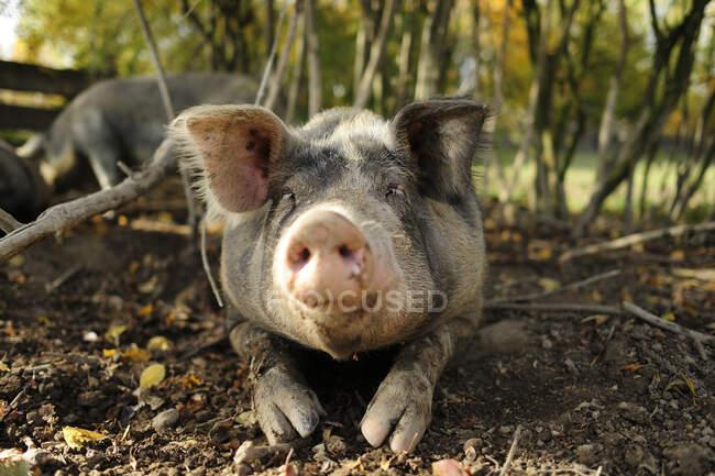 Cerdo tirado en el suelo - foto de stock