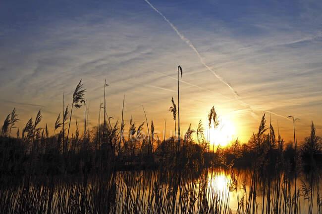 Германия, Бавария, Силуэты тростника, растущие в пруду на закате — стоковое фото