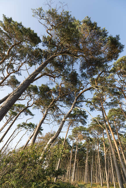 Allemagne, Darss, Vue à angle bas de la forêt — Photo de stock
