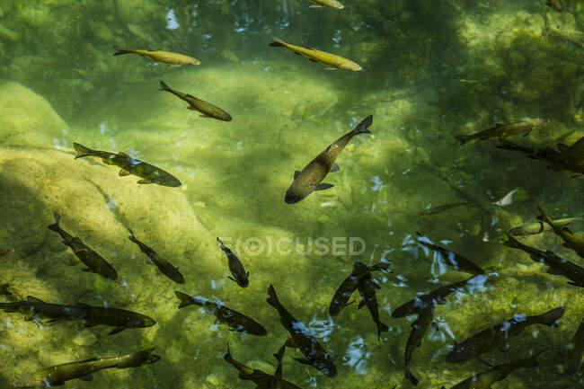 Croatia,Sibenik-KninCounty, School of fish swimming in green pond at Krka National Park — Stock Photo