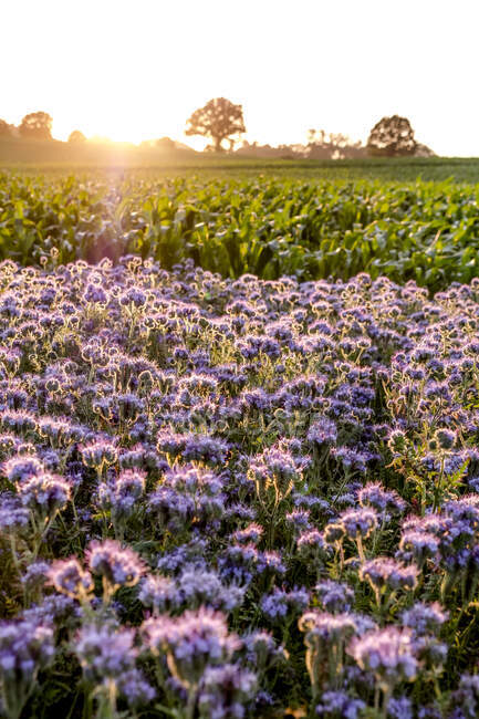 Germany, Schleswig-Holstein, Rettin, Purple flowers growing in field at sunset — Stock Photo