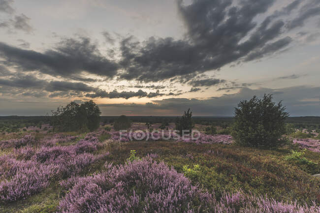 Germany, Lower Saxony, Luneburg Heath, Fields with heath at sunset — Stock Photo