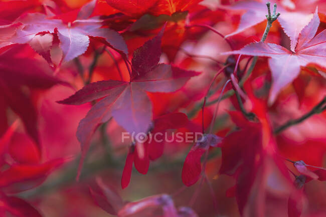 Close-up of red leaves on maple tree, New York, USA — Stock Photo