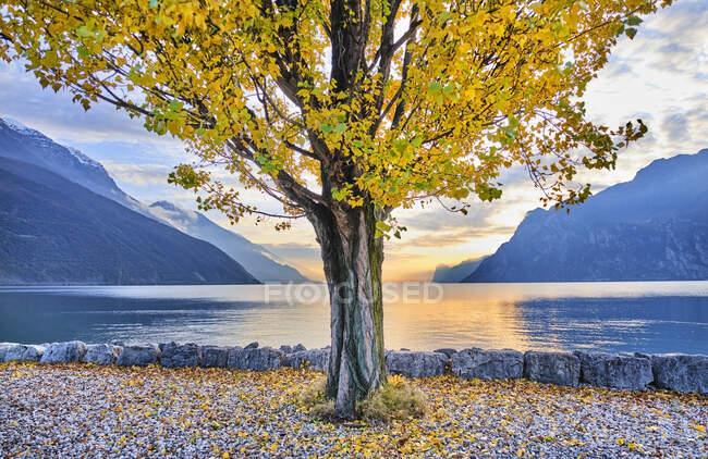 Italy, Trentino, Nago-Torbole, Autumn tree growing on shore of Lake Garda — Stock Photo
