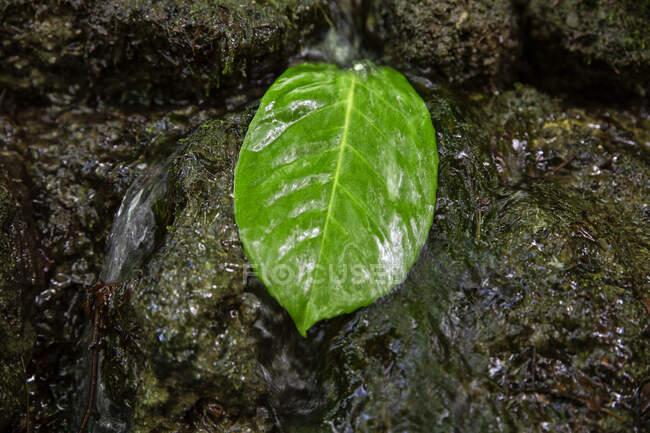 Cerrar og hoja verde en el agua que fluye - foto de stock