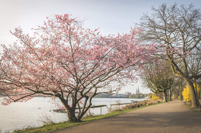 Diminishing perspective of empty road amidst cherry trees by Alster River during springtime, Hamburg, Germany — Stock Photo