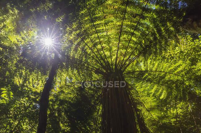 Nuova Zelanda, Isola del Nord, Sole che splende attraverso foglie di felci arboree nella Riserva Scenica di Pihanga — Foto stock