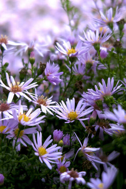 Germany, Saxony, Pink asters blooming in autumn — Stock Photo