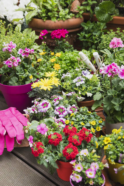 Colorful freshly potted summer flowers — Stock Photo