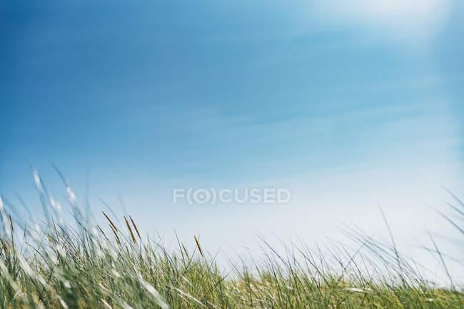 Erba che cresce sul campo contro il cielo blu, Polonia — Foto stock