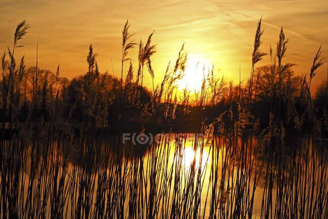 Germania, Baviera, Silhouette di canne che crescono nello stagno al tramonto — Foto stock