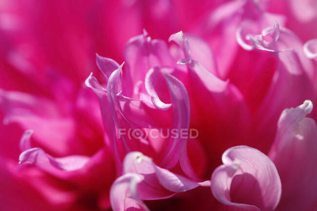 Extreme close-up of pink dahlia — Stock Photo