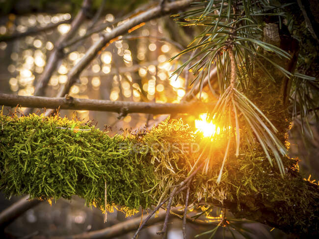 Germany, Bavaria, Close-up of moss-covered branch at sunset — Stock Photo