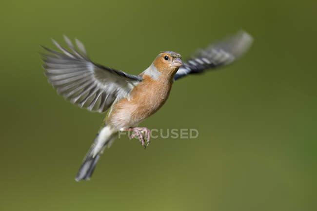 Male Chaffinch, Fringilla coelebs, flying — Stock Photo