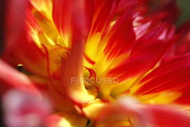 Primer plano extremo de la dalia roja y amarilla - foto de stock