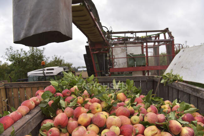 Apple harvesting on a plantation, harvester for automation — Stock Photo