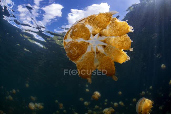 Palau, isla de Eil Malk, medusas en el lago de medusas - foto de stock