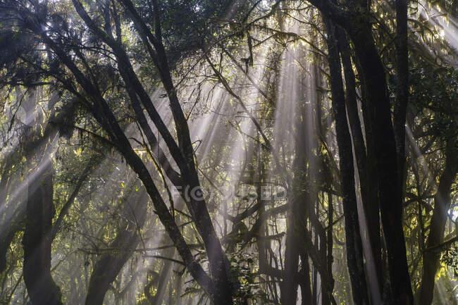 Испания, провинция Санта-Крус-де-Тенерифе, солнечный свет поджигает ветки лесных деревьев в национальном парке Гарахонай — стоковое фото