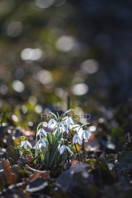 Germany, Saxony-Anhalt, Snowdrops (galanthus) in Spring — Stock Photo