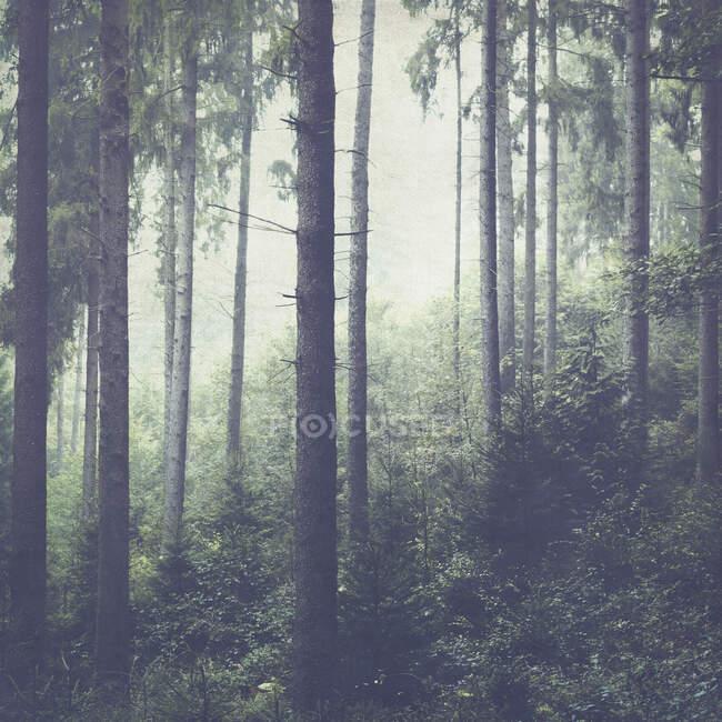 Bosque de abeto y niebla - foto de stock