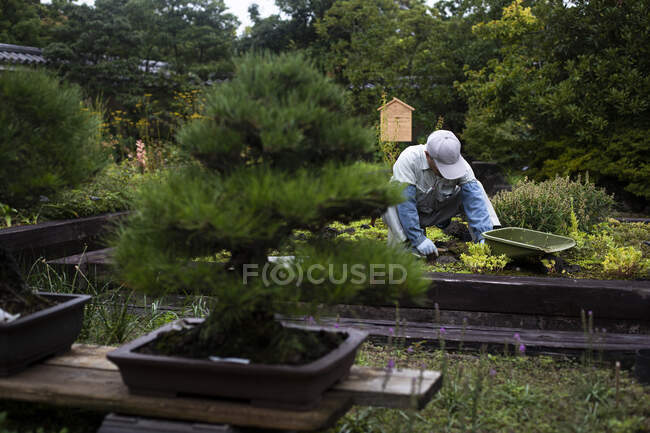 Japan, Kyoto, Gardener cleaning plants in garden — Stock Photo