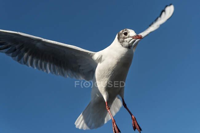 Швейцарія, Кантон Шаффгаузен, Стайн-на-Рейні, чорноголовий чайник (Chroicocephalus ridibundus) летить проти ясного неба. — стокове фото