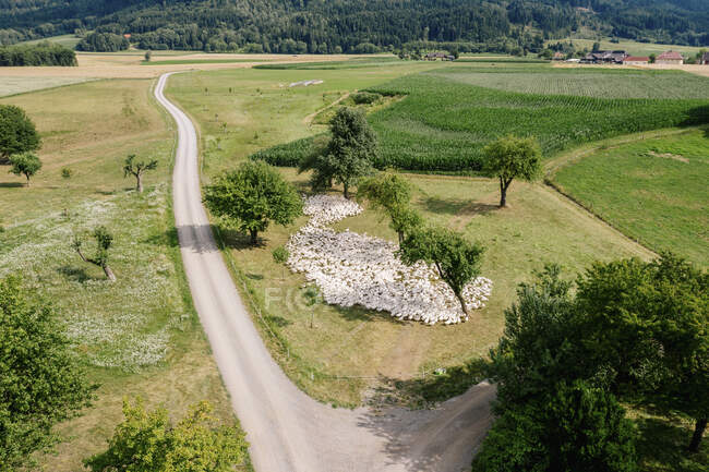 Austria, Carinthia, Klagenfurt, Aerial view of large flock of geese grazing by countryside dirt road — Stock Photo