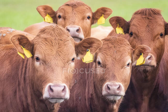 Scotland, Orkney Islands, South Ronaldsay, Close-up of cows in field — Stock Photo