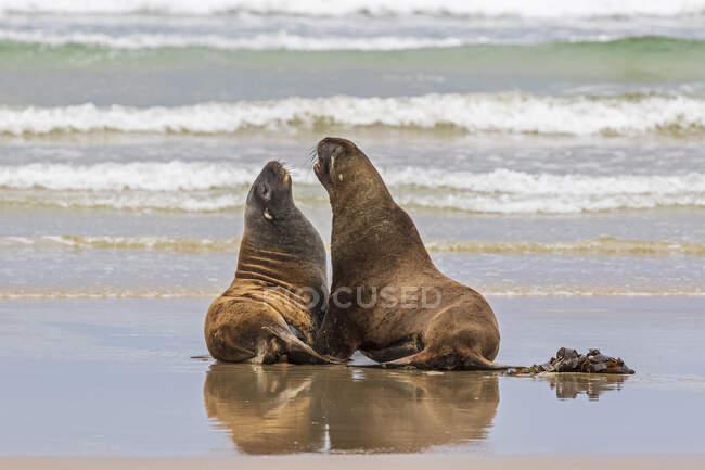Nuova Zelanda, Oceania, Isola del Sud, Otago, Sud-Est, Catlins Coast, Due leoni marini neozelandesi (Phocarctos hookeri) nella baia di Purakaunui — Foto stock