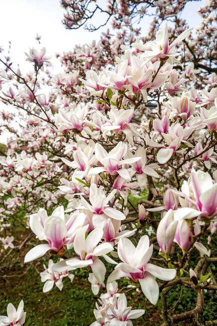 Alemania, Hessen, Primer plano de flores de magnolia rosadas - foto de stock