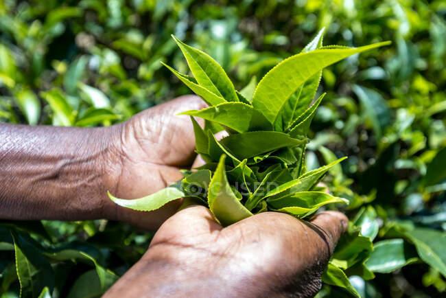Sri Lanka, Province d'Uva, Haputale, Gros plan sur la cueillette des feuilles de thé — Photo de stock