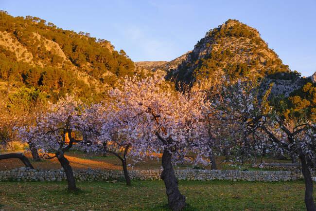 Spagna, Isole Baleari, Mandorli nel frutteto primaverile della Serra de Tramuntana all'alba — Foto stock