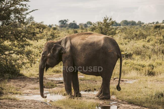 Sri Lanka, Provinz Sabaragamuwa, Udawalawe, Elefant trinkt aus Wasserpfütze im Udawalawe Nationalpark — Stockfoto