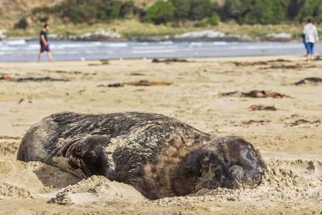Nueva Zelanda, Oceanía, Isla Sur, Otago, Sureste, Catlins Coast, Nueva Zelanda Sea Lion (Phocarctos hookeri) yaciendo en la arena en la Bahía de Purakaunui - foto de stock