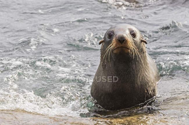 Oceania, Nuova Zelanda, Isola del Sud, Southland, Otago, Moeraki, Katiki Point, leone marino neozelandese (Phocarctos hookeri) in acqua — Foto stock