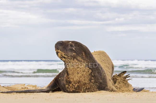 Nuova Zelanda, Oceania, Isola del Sud, Otago, Sud-Est, Catlins Coast, Nuova Zelanda Sea Lion (Phocarctos hookeri) sdraiato nella sabbia nella baia di Purakaunui — Foto stock