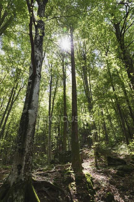 Bosque con contraluz, abedules, Valle de Verzasca, Ticino, Suiza - foto de stock