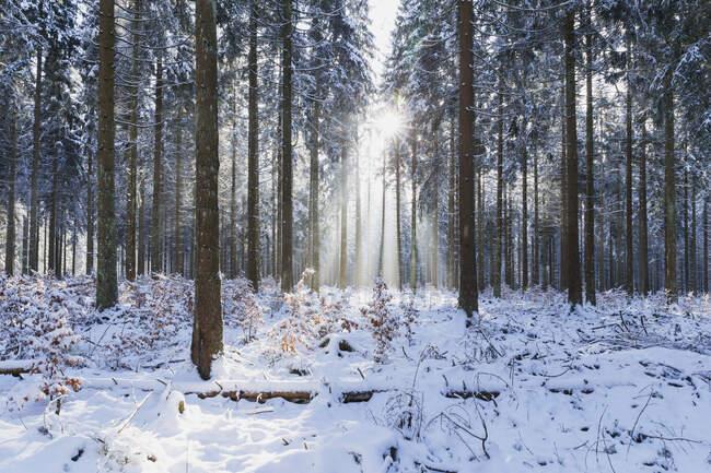 Germany, North Rhine-Westafalia, Sunlight illuminating snow-covered forest in Eifel National Park — Stock Photo